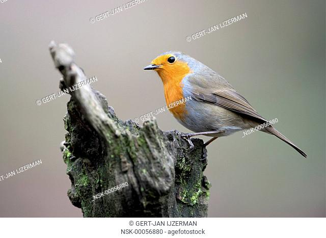Eurasian Robin (Erithacus rubecula) perched on a tree stump, The Netherlands, Gelderland, Veluwe