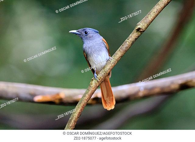 Female Asian Paradise-Flycatcher Terpsiphone paradisi perched on branch  Kaeng Krachan National Park  Thailand