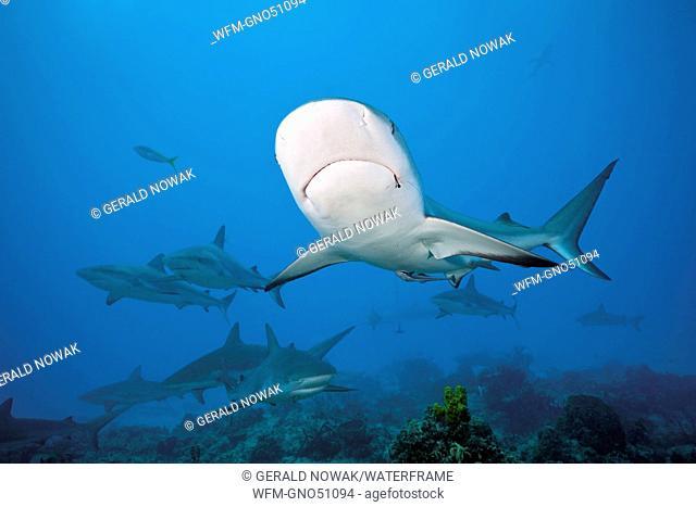 Caribbean Reef Shark, Carcharhinus perezi, Caribbean Sea, Bahamas