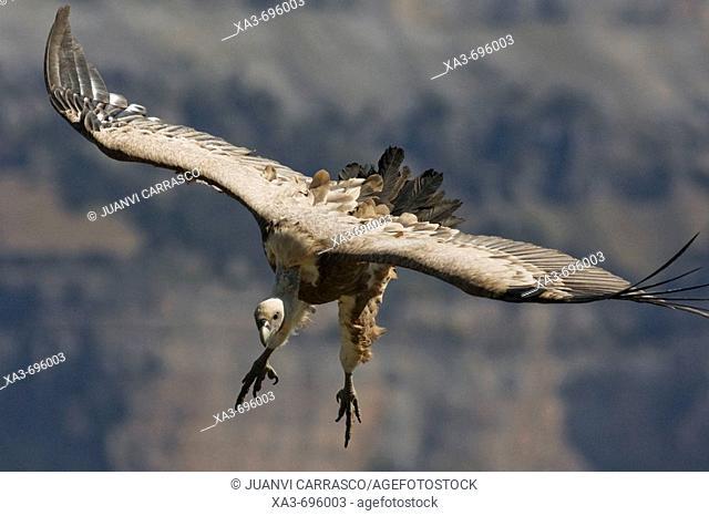 Griffon Vulture (Gyps fulvus) in flight
