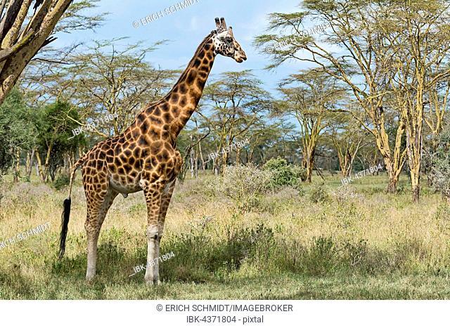 Rothschild's giraffe (Giraffa camelopardalis camelopardis) in bushland, Lake Nakuru National Park, Kenya