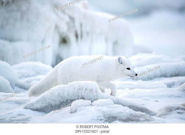 Arctic fox (Vulpes lagopus) walking through the ice chunks on Hudson Bay; Churchill, Manitoba, Canada