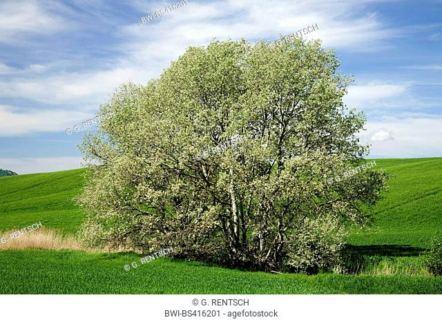 white poplar, silver-leaved poplar, abele (Populus alba), in a ditch in field landscape, Italy, Tuscany