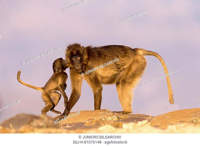 Gelada Baboon (Theropithecus gelada). Adult female with infant on a rock. Ethiopia