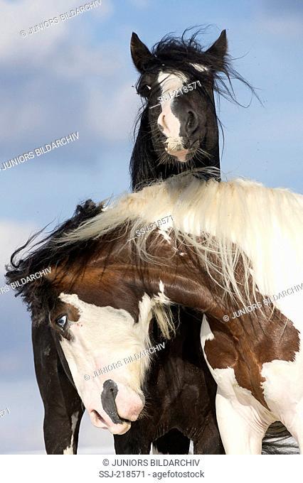 Gypsy Cob. Pair of stallions playfighting on kaolin sand. Poland