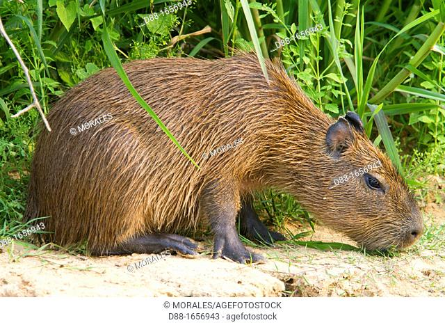 Capybara (Hydrochaeris hydrochaeris), largest rodent in the world, Pantanal area, Mato Grosso, Brazil
