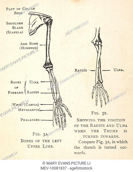 diagrams of the bones of the left arm and hand, showing theleft arm muscle anatomy amazing