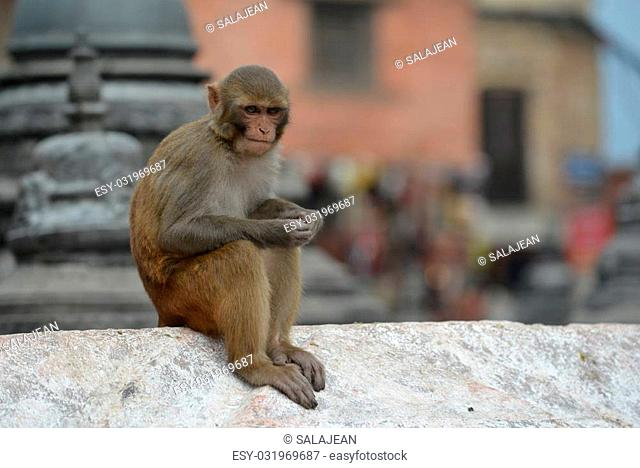 Monkey, Rhesus macaque at Swayambhunath temple. Nepal