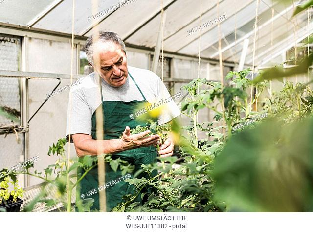 Senior man in greenhouse examining plant