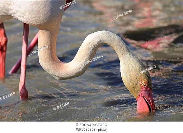 Greater Flamingo scooping its beak through the mud