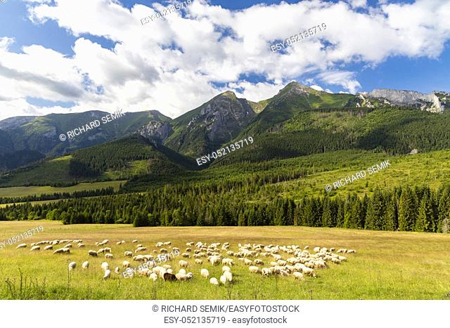 flock of sheep in Belianske tatras mountains, Slovakia