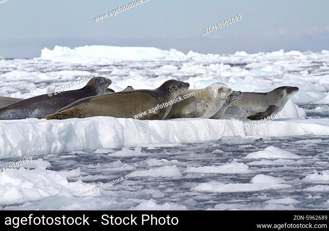 crabeater seals flock resting on an ice floe near the Antarctic Peninsula 1