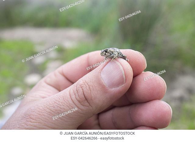 Tiny baby Iberian midwife toad between human fingers. Closeup