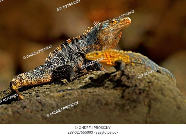 Black Iguana, Ctenosaura similis