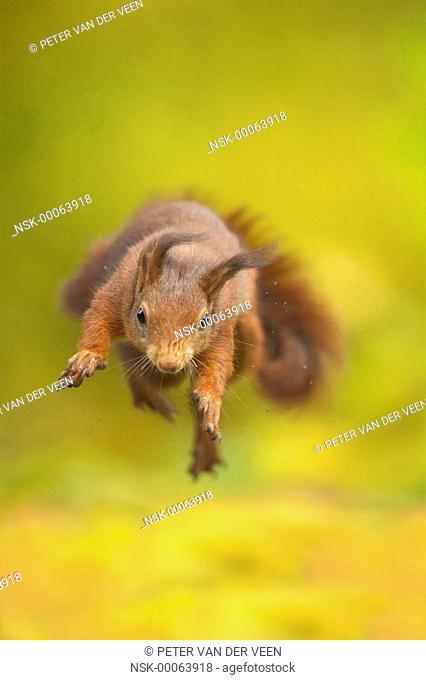 Red Squirrel (Sciurus vulgaris) crazy jump, The Netherlands, Gelderland