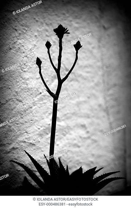 Silhouette of a cactus flower