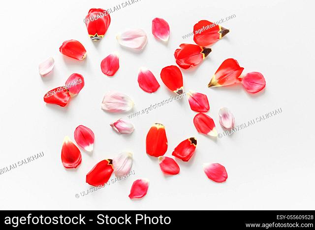 Flowers background made of tulip flower petals. Flat lay. Isolated on white