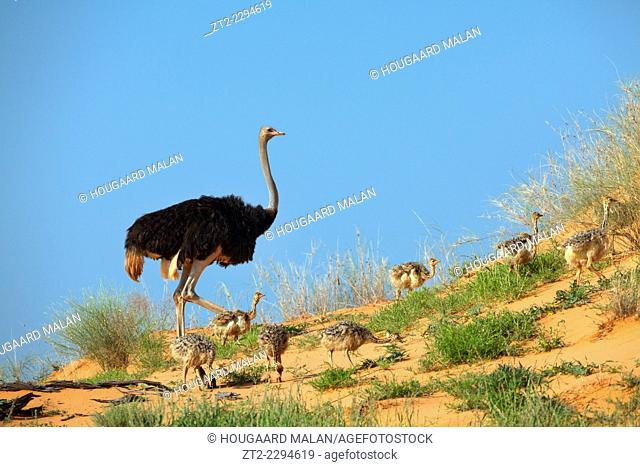 Wide view of an Ostrich and it's chicks running on a dune in the Kalahari. Kgalagadi Transfrontier Park, Southern Africa