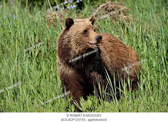 A close up of a young grizzly bear (Ursus arctos); standing in the tall grass looking back in rural Alberta Canada