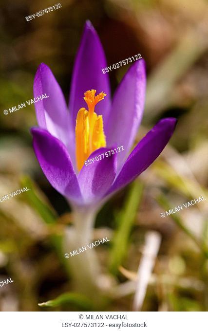 Colchicum autumnale, Autumn floweralkaloids