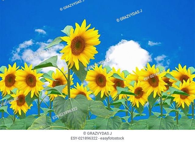 sunflowers bloom over a blue sky