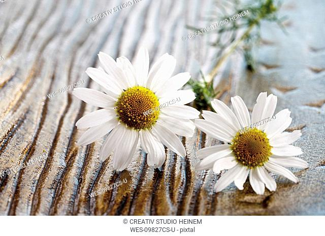 Camomile flowers, elevated view