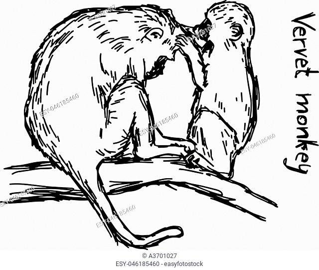 vervet monkey family - vector illustration sketch hand drawn with black lines, isolated on white background