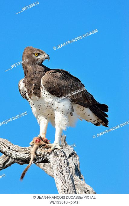 Martial Eagle (Polemaetus bellicosus), on a dead branch, with the tail and the paw of a meerkat (Suricata suricatta), in its talons, Etosha National Park
