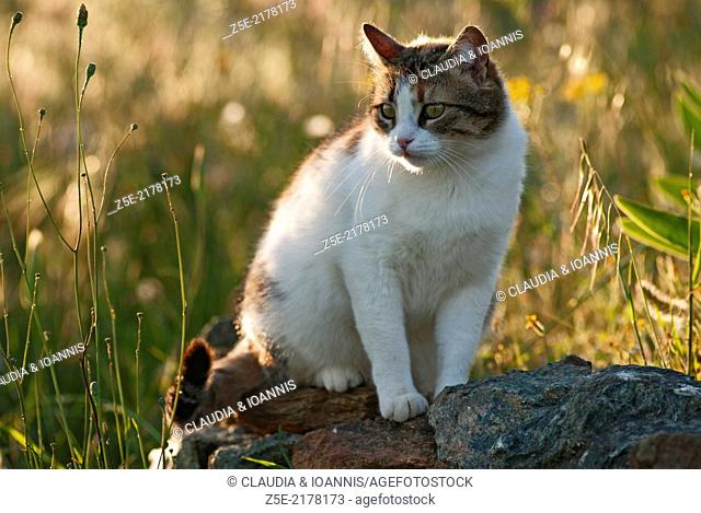 Calico cat sitting on a rock in a field
