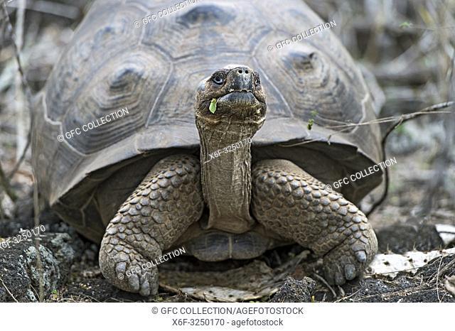 Galapagos-Riesenschildkröte (Chelonoidis nigra ssp) in situ, Insel Isabela, Galapagos Inseln, Ecuador / Galápagos giant tortoise (Chelonoidis nigra ssp)