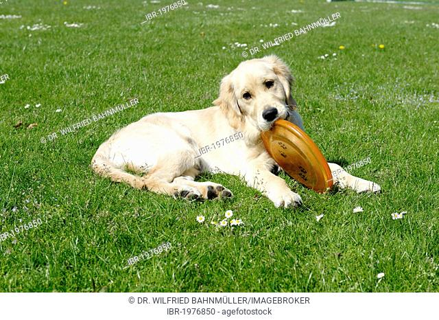 Young golden retriver with a frisbee