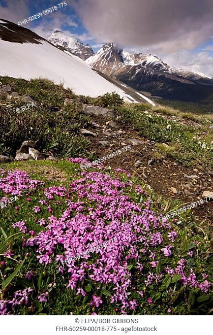 Moss Campion Silene acaulis flowering, in mountain habitat, Parker Ridge, Banff N P , Rocky Mountains, Alberta, Canada, july