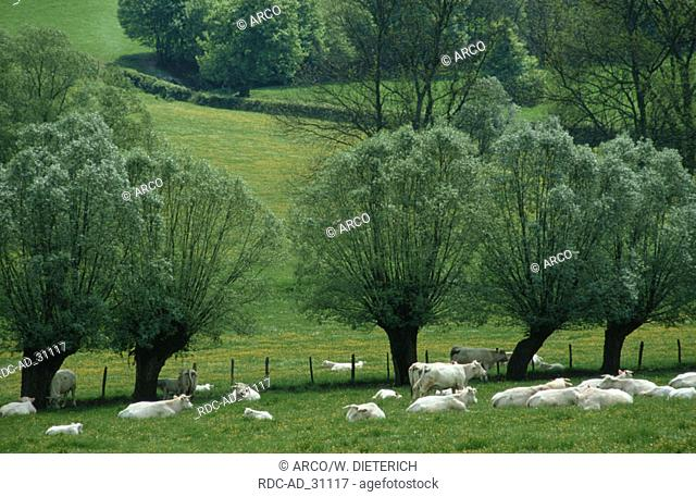 Charolais cattle on pasture Burgundy France
