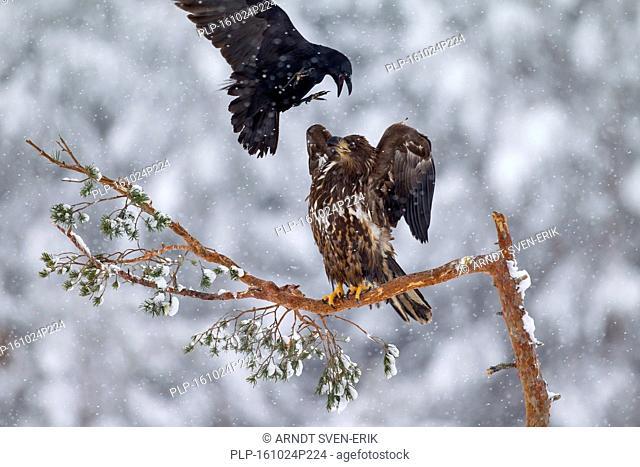 Common raven (Corvus corax) mobbing white-tailed eagle / sea eagle / erne (Haliaeetus albicilla) juvenile perched in tree during snowfall in winter