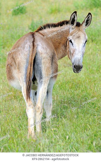 Andalusian donkey race.Olivenza.Badajoz province.Extremadura.Spain