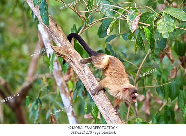 South America, Brazil, Mato Grosso, Pantanal area, Black-tailed marmoset (Mico melanurus)