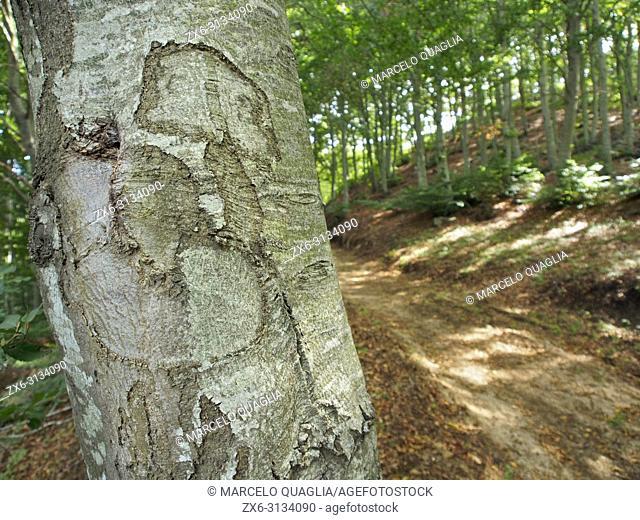 Bark of beech tree at beech forest (Fagus sylvatica). La Nespla site. Montseny Natural Park. Barcelona province, Catalonia, Spain