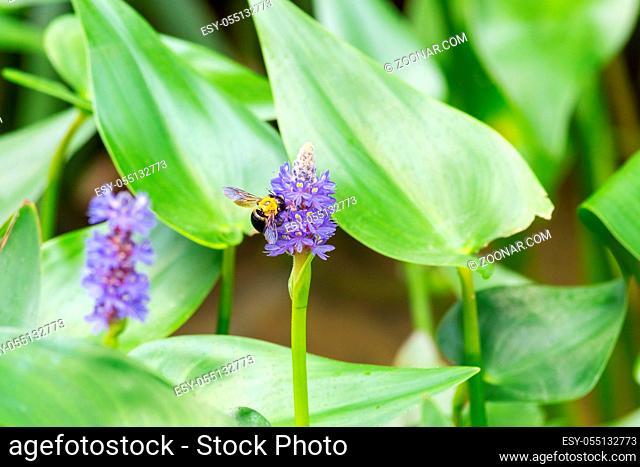 pickerelweed flower with bee, pontederia cordata in full bloom