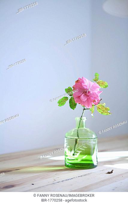 Garden rose in a vase
