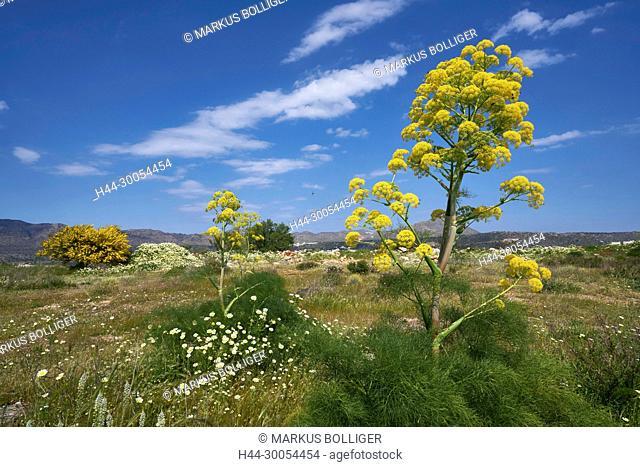 Crete, Greece, scenery, Akrotiri, gigantic fennel, Steckenkraut, Ferula communis, rod herb, common Steckenkraut, Doldenblütler, Apiaceae, shrub, sky, Yellow