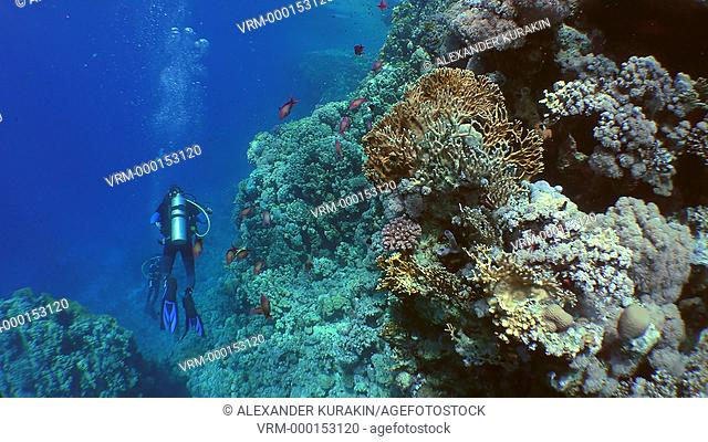 Underwater photographer with a camera swims along the wall of a coral reef, wide shot