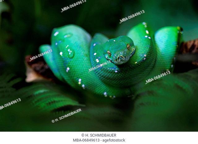 Green tree python, Morelia viridis, coiled up on branch, end outline