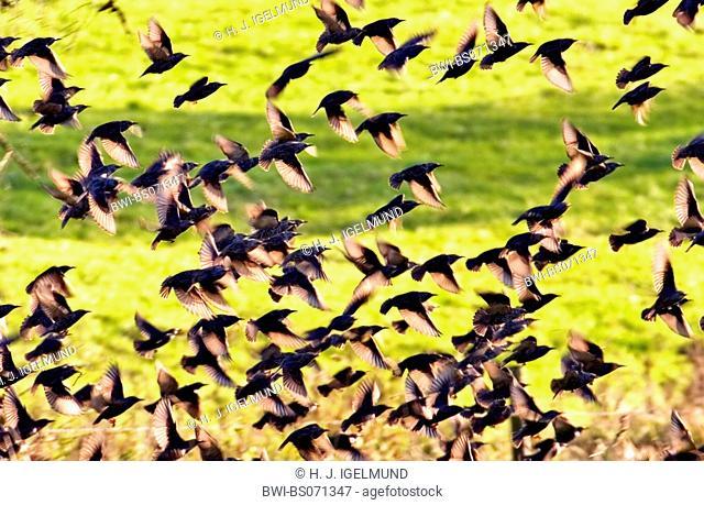 common starling (Sturnus vulgaris), swarm, Germany, Rhineland-Palatinate, Eifel