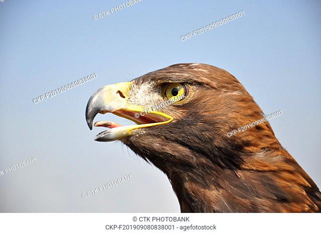 Rock eagle (Aquila chrysaetos) as biological protection of airports, Czech Republic, 2019. (CTK Photo/Rostislav Kalousek)