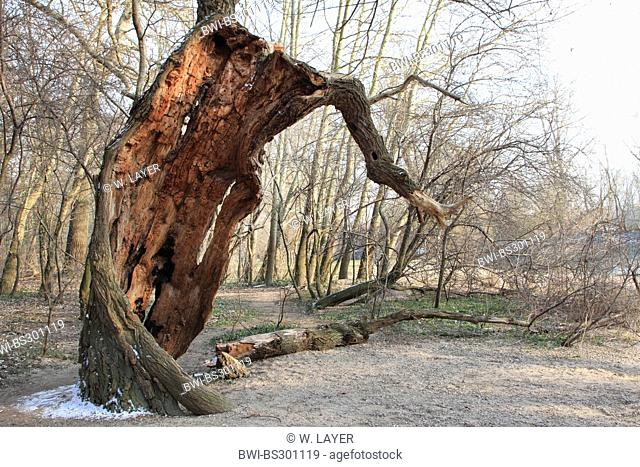 white poplar, silver-leaved poplar, abele (Populus alba), very old gnarled tree in winter, Germany
