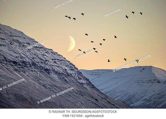 Birds flying with moonlight, Akureyri, Iceland