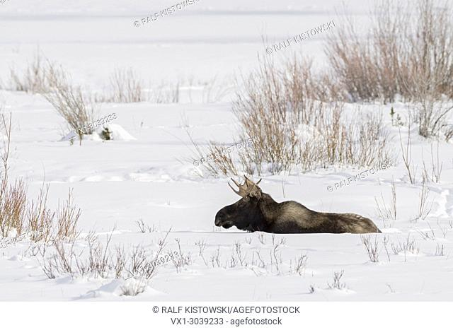 Moose ( Alces alces ), young bull, resting, lying, ruminating in snow, winter, Yellowstone NP, USA