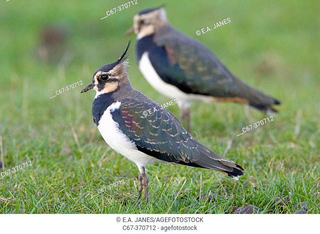Lapwing Pair (Vanellus vanellus)