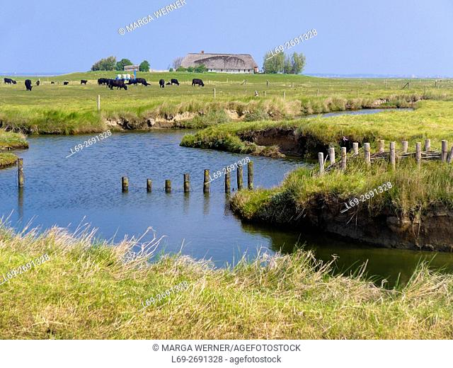 Landscape on Hallig Langeneß with dwelling mound 'Treuberg', cattle and tidal creek, Wadden Sea, North Sea, Schleswig-Holstein, Germany, Europe