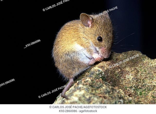 House Mouse (Mus musculus). Parque Nacional de Monfrague, Extremadura